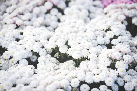 Close up of bunch flower white chrysanthemum beautiful texture background  chrysanthemum flowers blooming decoration festival celebration , selective focus Stok Fotoğraf