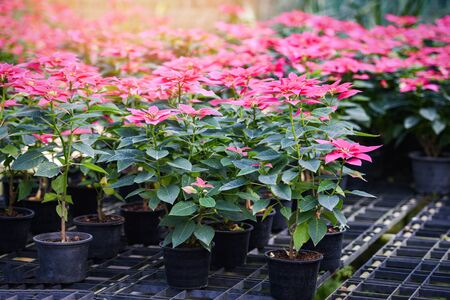 Pink poinsettia in the garden background  Poinsettia Christmas traditional flower decorations Merry Christmas