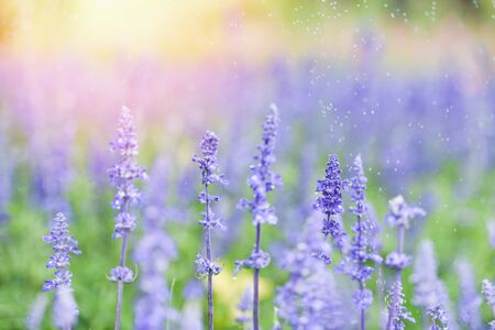 flower lavender fields , Blue Salvia flower blooming in the spring garden  salvia farinacea