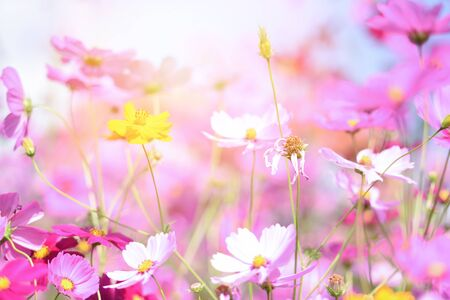 colorful pink flowers cosmos in the garden on fresh bright day  beautiful cosmos flower in nature