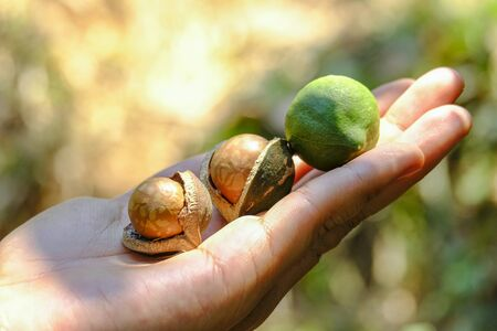 Shelled and unshelled macadamia nuts on hand harvested from macadamia trees