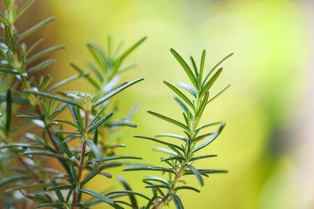 Bio-Rosmarinpflanze, die im Garten für Extrakte ätherisches Öl wächst / frischer Rosmarinkräuter naturgrüner Hintergrund, selektiver Fokus Standard-Bild