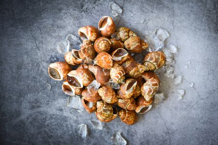 Babylonia areolata shellfish seafood on ice ready for eat or cooked / Spotted babylon Sea shell limpet Stock Photo