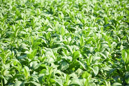 young green tobacco leaves plantation in the tobacco field background  Tobacco leaf plant growing in the farm agriculture in asian