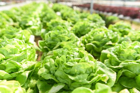 Butterhead Lettuce Hydroponic farm salad plants on water without soil agriculture in the greenhouse organic vegetable hydroponic system young green lettuce salad growing in the garden