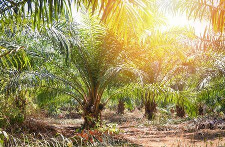 Plantación de palmeras en la agricultura asiática / aceite de palma de árbol creciendo frutas tropicales en el jardín de verano Foto de archivo