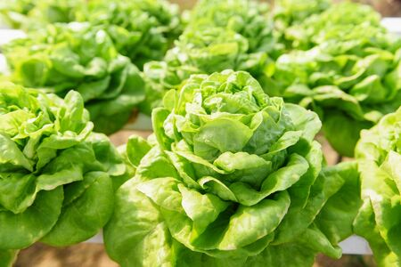 Butterhead Lettuce Hydroponic farm salad plants on water without soil agriculture in the greenhouse organic vegetable hydroponic system  Green lettuce salad growing in the garden