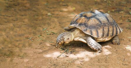 African spurred tortoise  Close up turtle walking