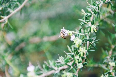 Organic rosemary plant growing in the garden for extracts essential oil  Fresh rosemary herbs nature green background with bee insect on flower rosemary
