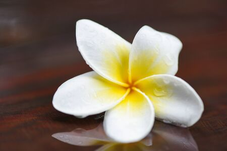 Plumeria flowers with drop water on wooden after rain / Other names Frangipani , White Plumeria , Temple Tree , Graveyard Tree