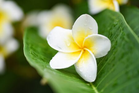 Plumeria flowers with drop water on green leaf / Other names Frangipani , White Plumeria , Temple Tree , Graveyard Tree