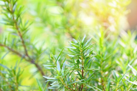 Rosmarinus officinalis herb and ingredient for food / Rosemary plant leaves in the garden nature green background