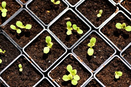 planting vegetables lettuce leaf on soil in pot in the garden / green young plant growing gardening plantation agriculture concept Фото со стока
