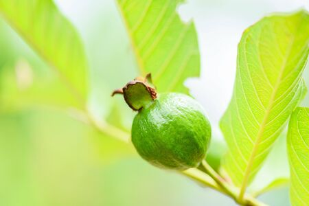 guava fruit on guava tree in the nature green background