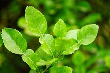 Kaffir lime leaves on the tree bergamot leaf