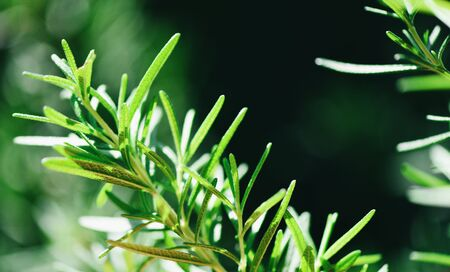 Rosemary plant leaves in the garden nature green background / Rosmarinus officinalis herb and ingredient for food