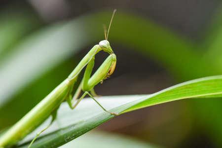 Green grasshopper / Female european Mantis or Praying Mantis religiosa on leaf on nature