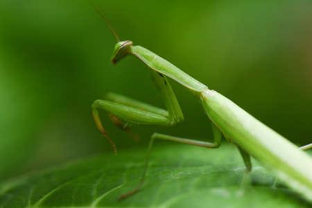 Female european Mantis or Praying Mantis religiosa on leaf on nature / Green grasshopper