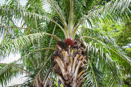 Palm fruit oil on the palm tree in the garden agriculture asia