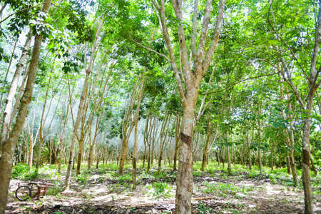 Rubber plantations with rubber tree agriculture asia for natural latex tree in garden of thailand Standard-Bild