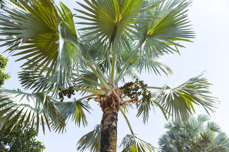 Palm fruit on plantation palm tree tropical summer with green leaf decorate garden