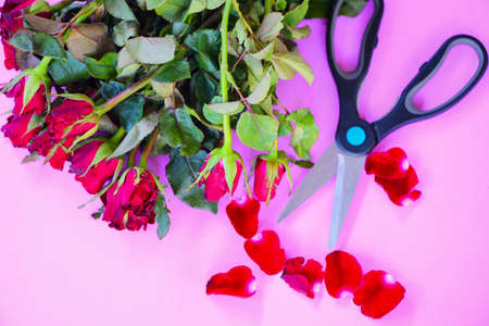 Cut rose on pink background / cutting a roses flower with scissors in a flower shop for decorating