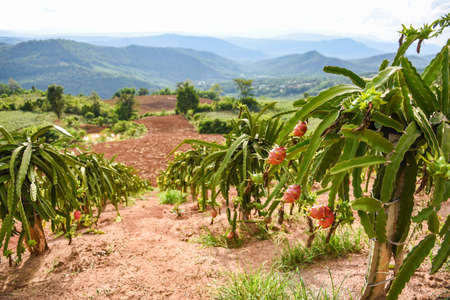 Dragon fruit on tree plant / ripe dragon fruit garden the product agriculture waiting for harvest on mountain in Thailand Asian , pitaya or pitahaya
