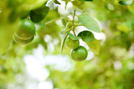 Green limes on a tree / Fresh lime citrus fruit in the garden farm agricultural with nature green blur background