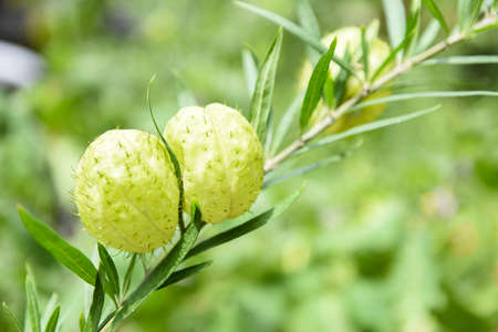 Gomphocarpus physocarpus , balloon plants ornamental tree / Balloon Cotton bush Swan Plant