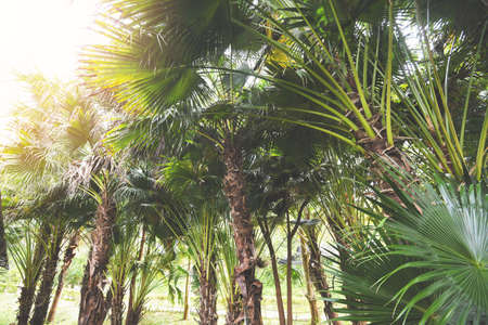 tropical palm tree in the palm garden agriculture asia in summer