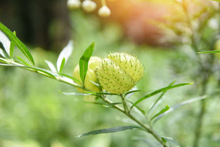 Balloon plants ornamental tree / balloon Cotton bush Swan Plant , Gomphocarpus physocarpus Zdjęcie Seryjne