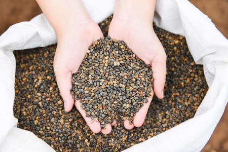 Hands with taking seeds / nuts or bean seed on hand for plantation cultivation