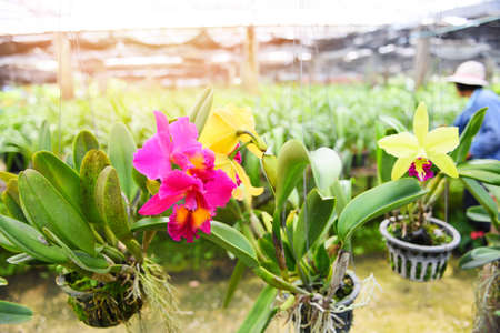 Cattleya Orchids farm / pink and yellow beautiful colorful orchid flower in the nature farm nursery plant Zdjęcie Seryjne