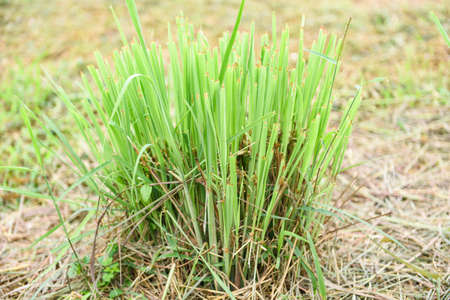 lemon grass plant in the garden for ingredients used in thai food cooking and herb / lemon grass leaf