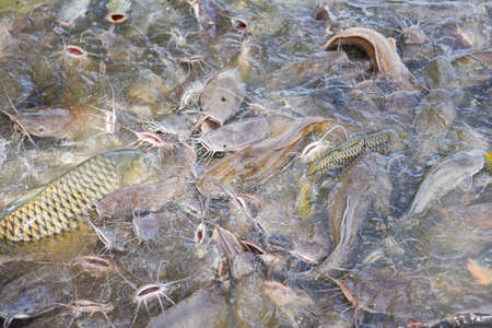 Catfish eating from feeding food on water surface ponds / Freshwater fish farm
