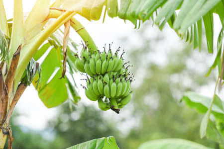 Green bananas in the garden on the banana tree agriculture plantation in Thailand summer fruit Zdjęcie Seryjne