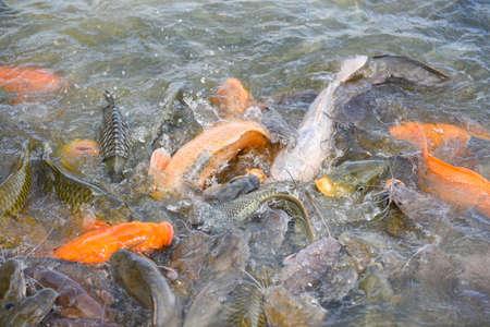 Freshwater fish farm / Golden carp fish tilapia or orange carp and catfish eating from feeding food on water surface ponds