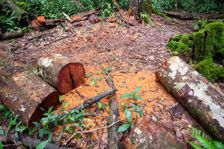Log saw wooden logs tree in the rain forest nature / Deforestation environmental problem with chainsaw in action cutting wood