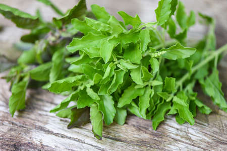 Holy basil leaf nature vegetable garden on wooden table kitchen herb and food - Ocimum sanctum , green sweet basil in thailand