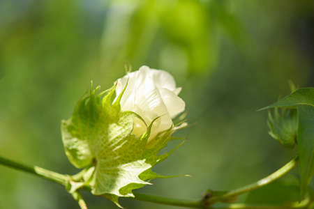 Cotton flower on tree in the cotton field nature green background