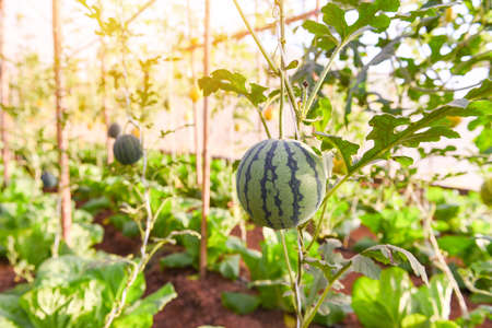 Watermelon growing in the garden, Green watermelon farm organic in greenhouse
