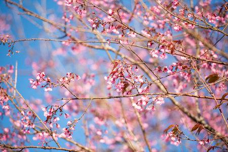 Wild Himalayan Cherry Blossom, beautiful pink sakura flower at winter landscape