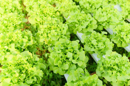 Hydroponic lettuce growing in garden hydroponic farm lettuce salad organic for health food, Greenhouse vegetable on water pipe with green oak