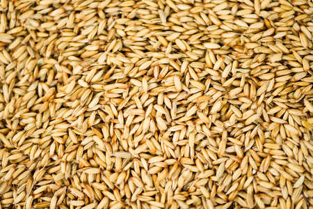 paddy rice texture background, dry seed rice organic paddy agricultural products from in Thailand Asian for food