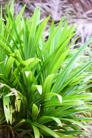 Pandan leaf plant growing on the Pandan trees garden for natural herbs ingredient in Asian Thai kitchen food Banque d'images