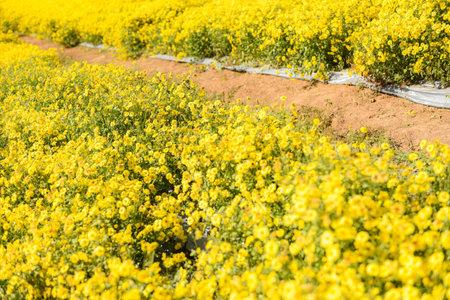 Flowers yellow field with yellow chrysanthemum in the garden (Chrysanthemum morifolium Ramat)