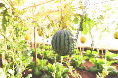 Watermelon growing in the garden, Green watermelon farm organic in greenhouse