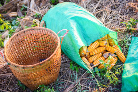 ripe corn harvest from field in the basket and bag, harvesting corn asian agricultural products 写真素材
