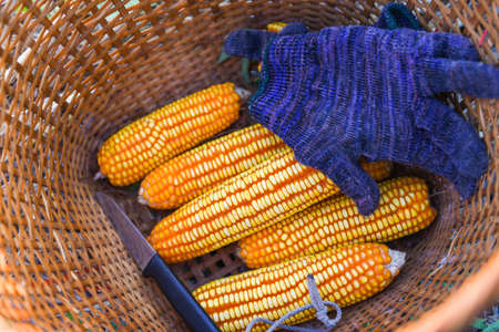 ripe corn harvest from field in the basket, harvesting corn asian agricultural products