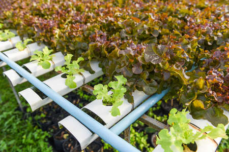 Hydroponic lettuce growing in garden hydroponic farm lettuce salad organic for health food, Greenhouse vegetable on water pipe with green oak and red oak